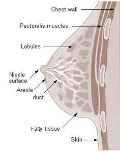 Image of breast anatomy