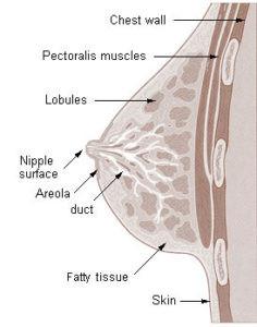 Image of breast anatomy